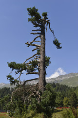 conifer trees on the mountains