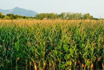 Paesaggio di campagna, campo di granoturco mais, estate