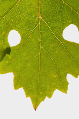 Grape leaf isolated on whith