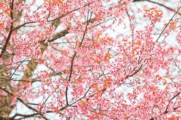 Cherry Blossom or Sakura