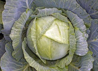 Cabbage closeup as background
