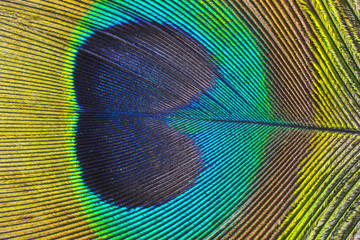 a peacock feather macro photo