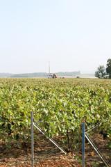 pieds de vignes