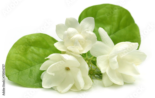 canvas print picture Jasmine flower