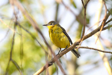 Yellow wagtail on a branch