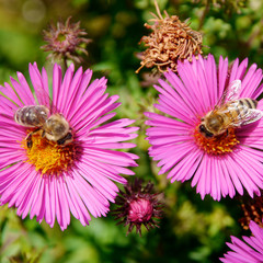 Honigbiene sammelt Nektar