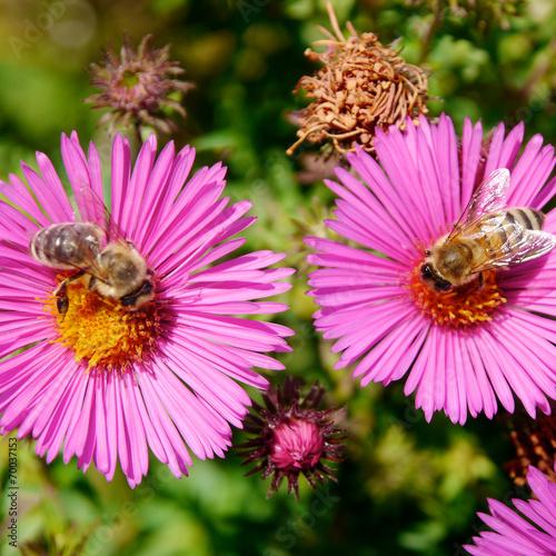 canvas print picture Honigbiene sammelt Nektar