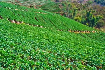 Strawberries farm in Chiangmai province of Thailand