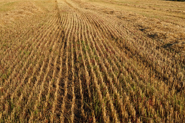 Texture stubble field with chopped straw