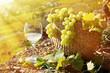 Wineglass and basket of grapes. Lavaux region, Switzerland
