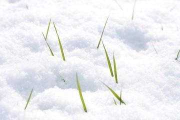 gras wächst aus schnee