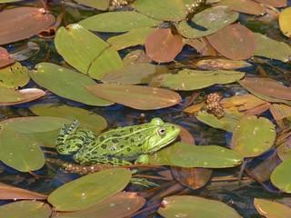 rana verde tra le foglie galleggianti