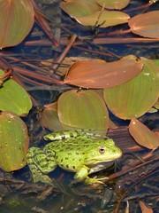 la rana nello stagno