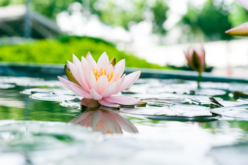Beautiful pink lotus flower in pond