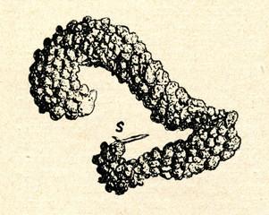 Sphaerularia bombi, parasite of bumblebees