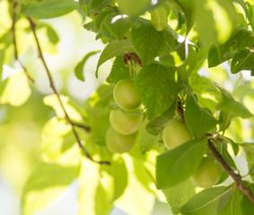 unripe plums on the tree