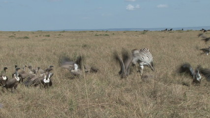 zebra mother tries to chase away vultures from her dead baby