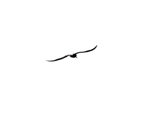 Seagull bird on a white background