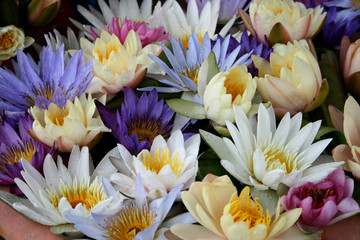Lotus multicolored. Many colorful lotus flowers