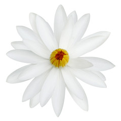 water lily white in isolated white background