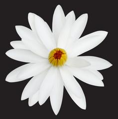 White lotus on a black background