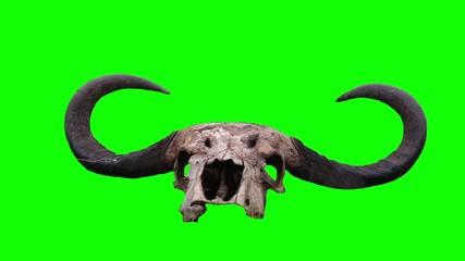 Skull and buffalo horn. Green screen.