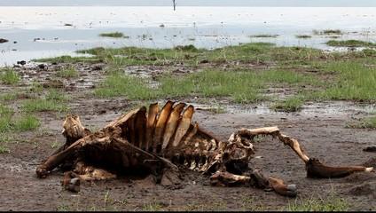 Skeleton of wildebeest on the shores of Lake