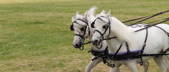A Beautiful Pair of Harnessed Grey Horses.