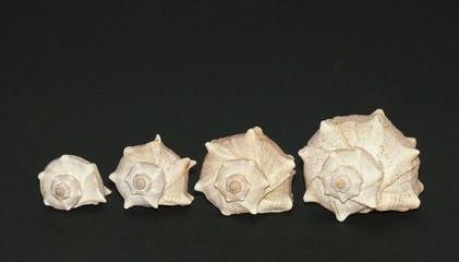 fila di conchiglie
