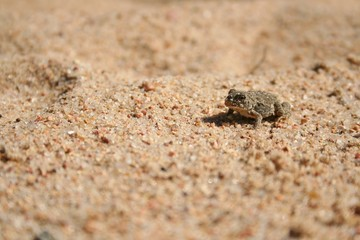 sandy toad