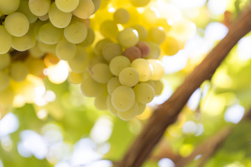 ripe grapes on the nature