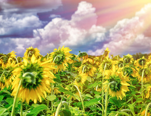 Beautiful sunflowers field in sunset