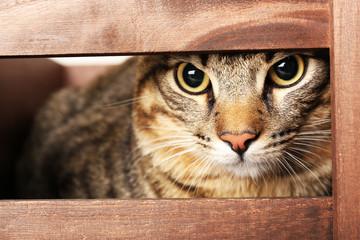 Grey cat in wooden box closeup