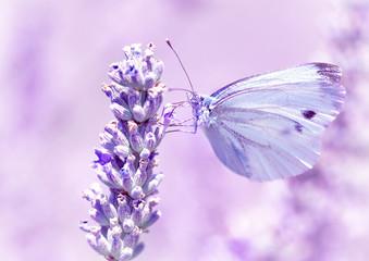 Gentle butterfly on lavender flower