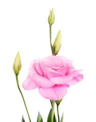 Beautiful eustoma flower, isolated on white