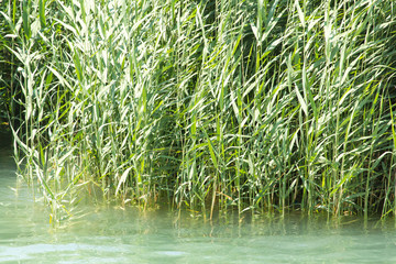 green reeds in nature