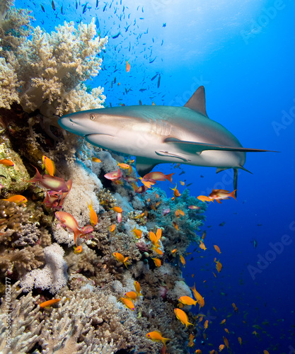 Obraz na Szkle Coral reef with shark