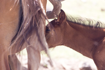 Cute brown foal drinking milk from his mother