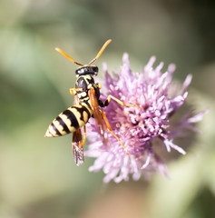 wasp on nature. macro