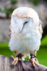 View of Barn owl sitting on falconer glove