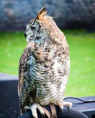 Close up portrait of European Eagle Owl