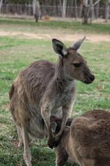 [Australien - South Australia] Adelaide Känguru Park