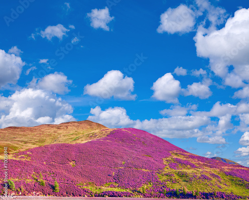Hill slope covered by violet heather flowers and cloudy blue sky