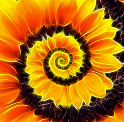 Sunflower infinity spiral abstract background.