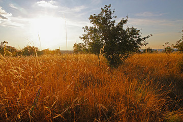 Bush in the middle of a meadow with tall grass at sunset