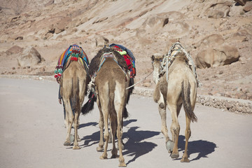 three camels walking down a desert area, Africa