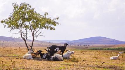 Goats Grazing Near Tree