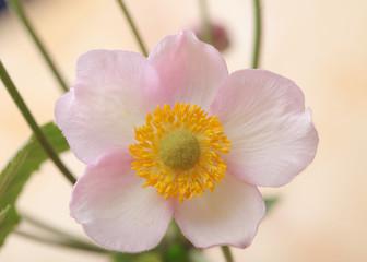 anemone flower closeup
