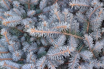 Decorative fir tree with silver branches