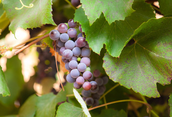 Bunches of red wine grapes hanging on the wine in late afternoon